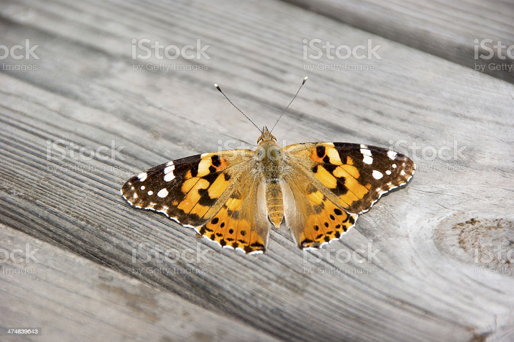Painted Lady butterfly basking in sunshine on wood royalty-free stock photo