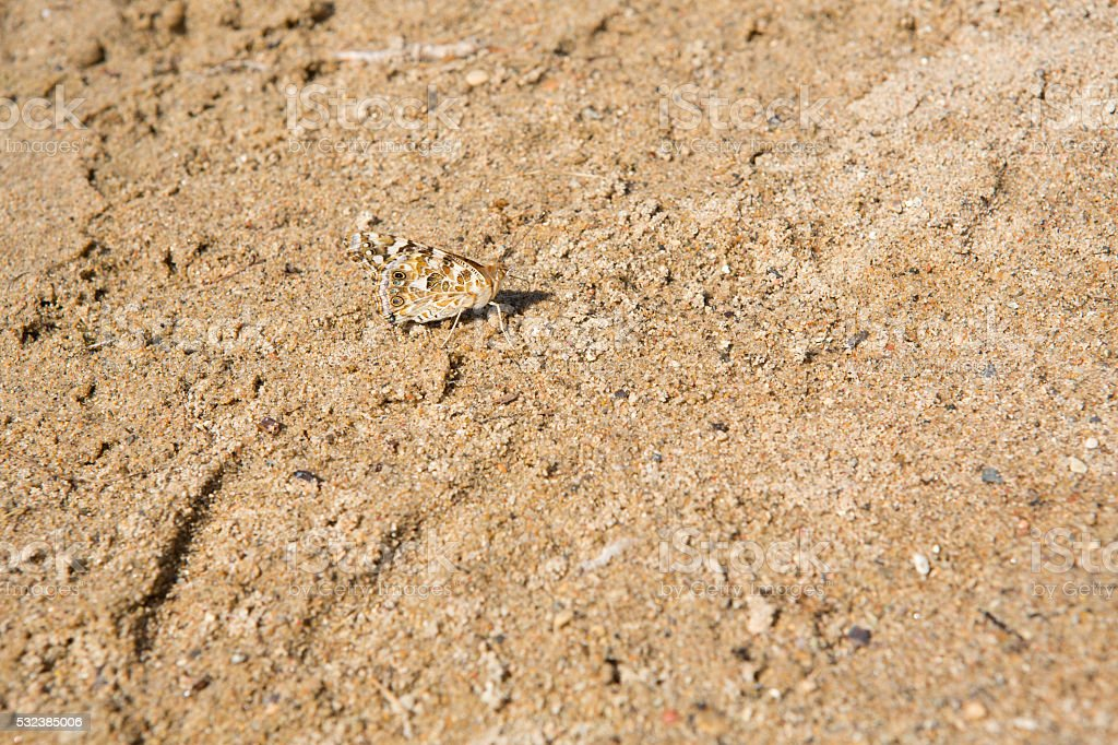 Painted lady butterfly camouflaged on sand stock photo