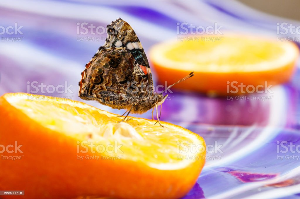 Painted Lady Butterfly Drinking From Orange Slice On Glass Table.  Royalty Free Stock Photo
