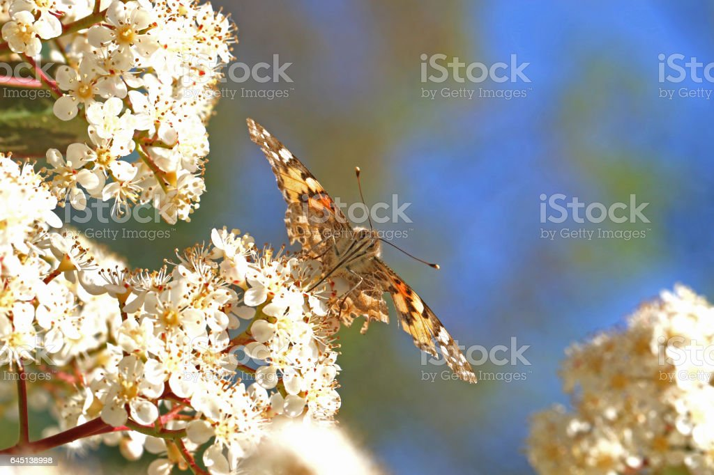 Painted lady butterfly in spring close up wings spread out and head on clearly showing its proboscis Latin cynthia cardui or vanessa but with slightly battered wings on a photinia flower in Italy stock photo