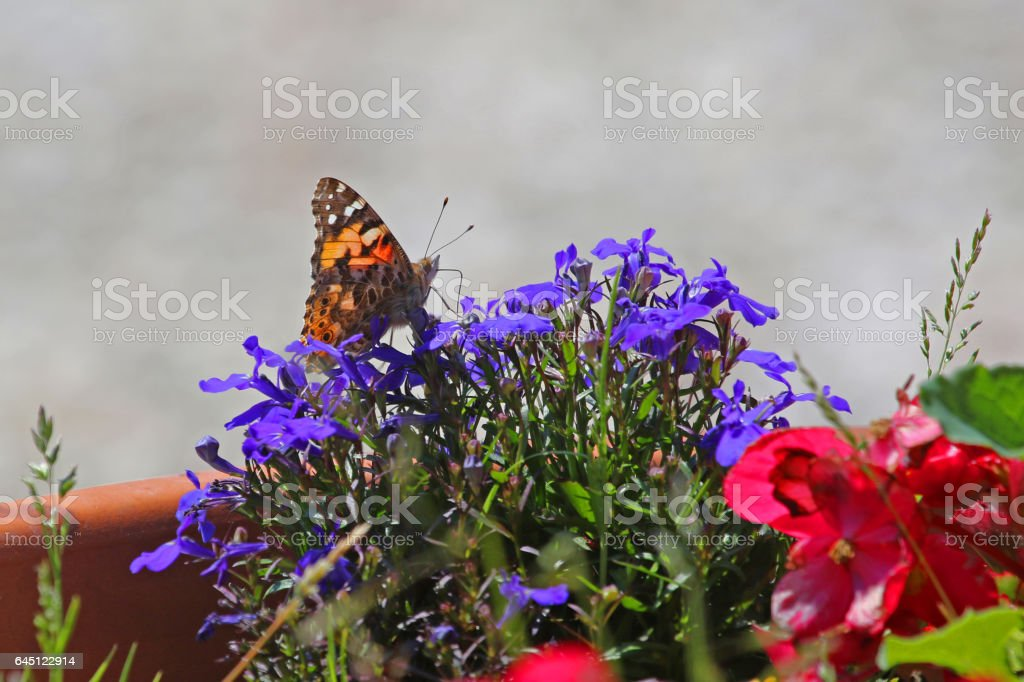 Painted lady butterfly in summer very close up Latin cynthia cardui or vanessa feeding on blue or purple lobelia flowers campanulaceae in Italy stock photo
