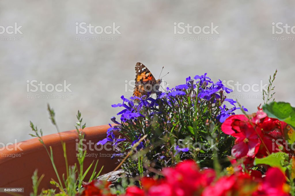 Painted lady butterfly in summer very close up Latin cynthia cardui or vanessa feeding on lobelia flowers campanulaceae in Italy stock photo