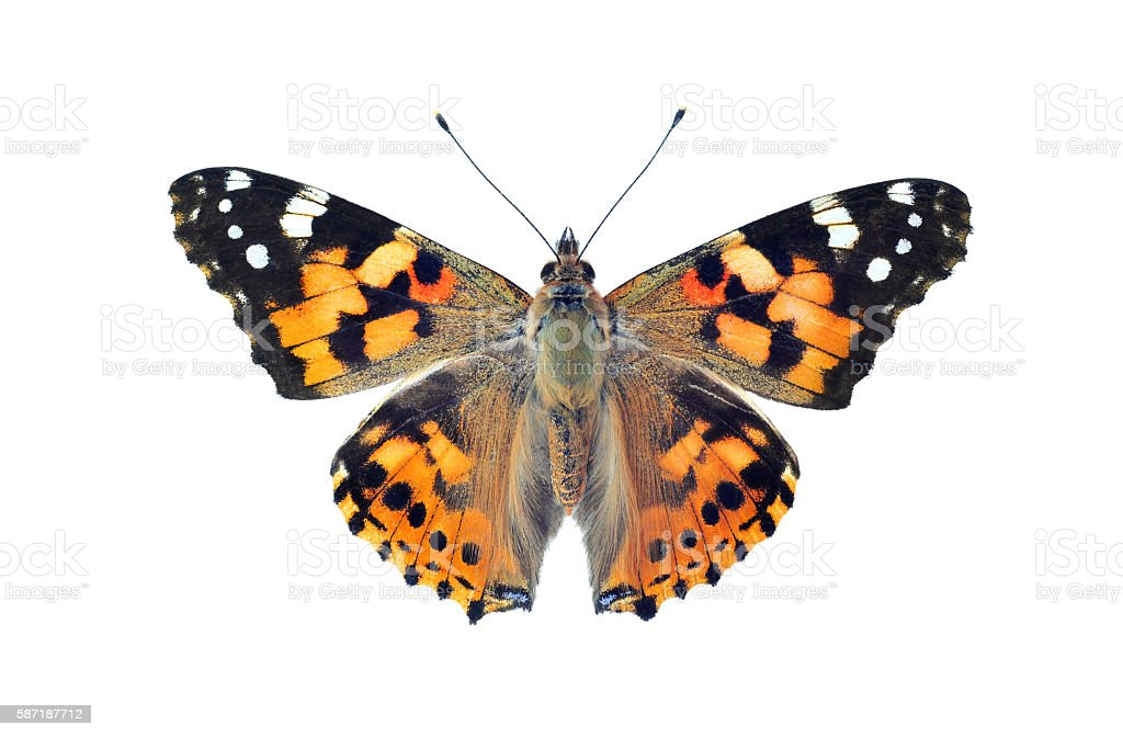 Painted lady butterfly, isolated on white stock photo