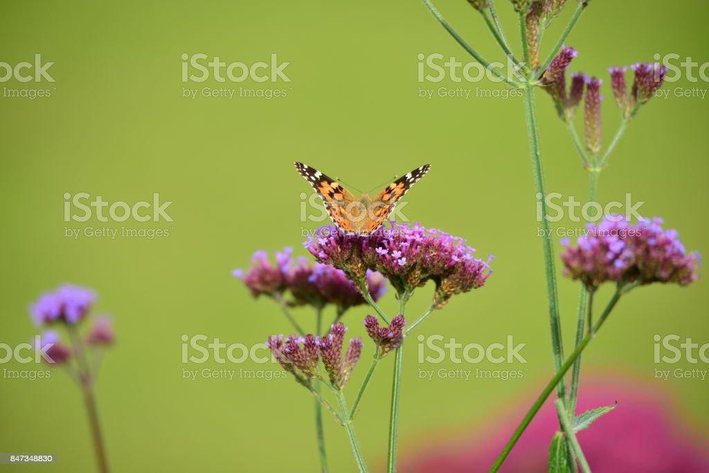 Painted lady butterfly, Jersey, U.K. stock photo