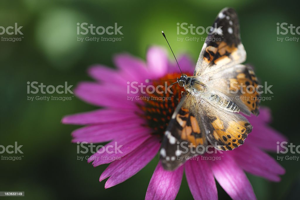 Painted Lady Butterfly on a coneflower stock photo