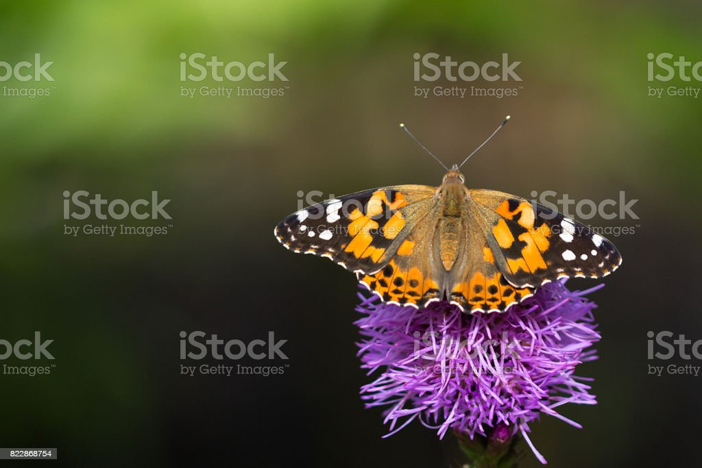 Painted lady butterfly on a pink liatris flower stock photo