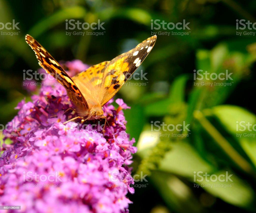 Painted lady butterfly (Cynthia cardui) on Buddleja davidii stock photo