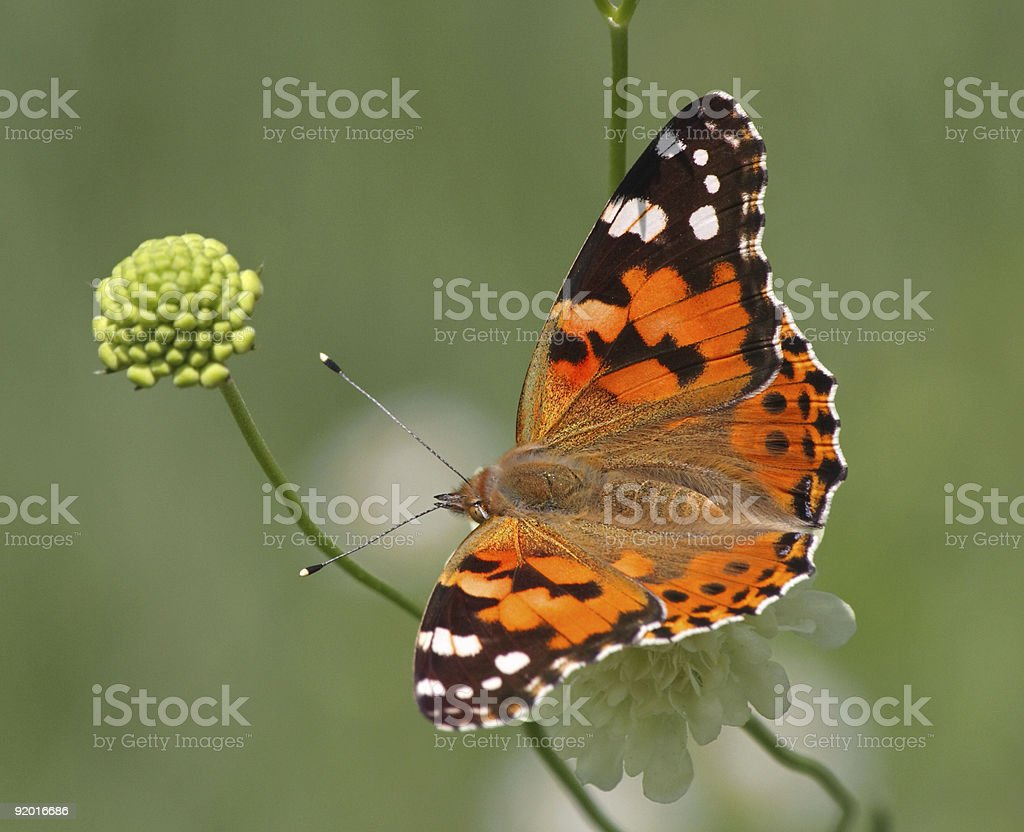 Painted Lady Butterfly on Flower stock photo