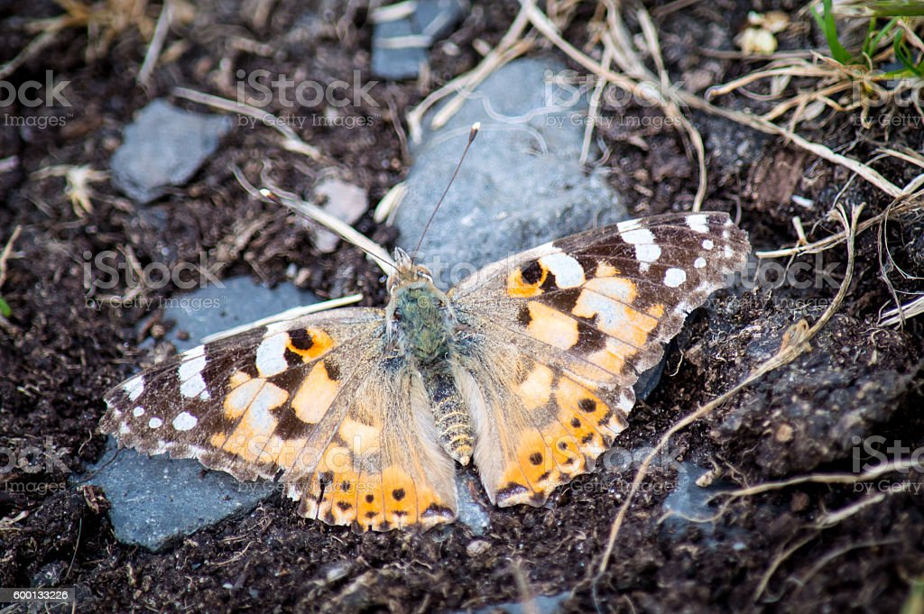 Painted Lady butterfly on path stock photo