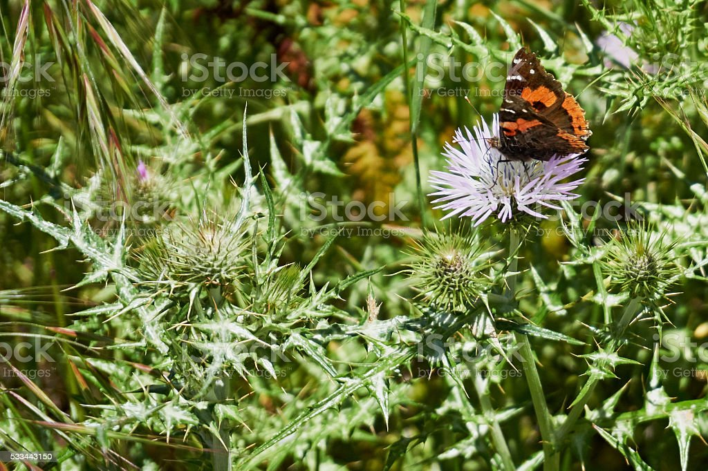 Painted Lady (vanessa cardui) - Butterfly on thistle blossom stock photo