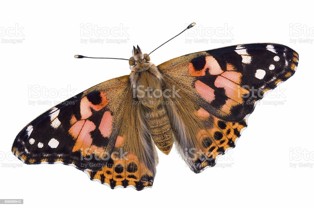 Painted Lady butterfly on white stock photo