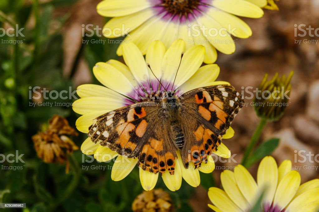 Painted Lady  Butterfly on Yellow and purple African Daisy. stock photo