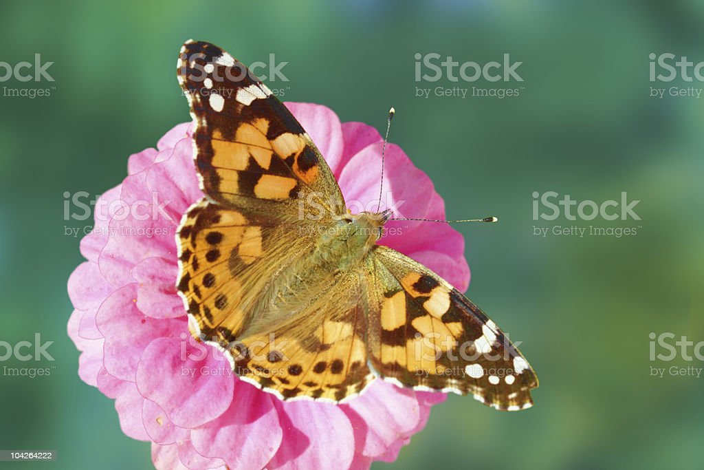 Painted lady butterfly  on zinnia flower stock photo