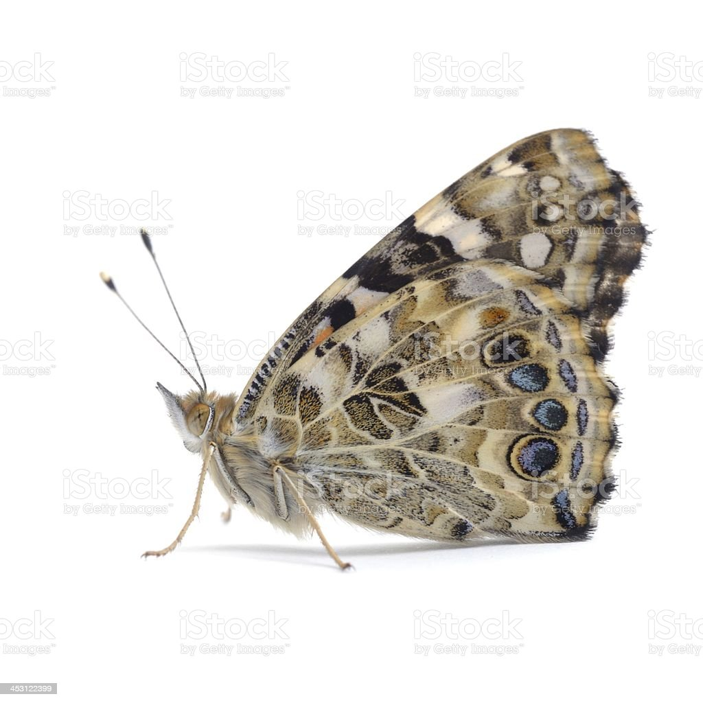 Painted Lady butterfly (Vanessa cardui) royalty-free stock photo