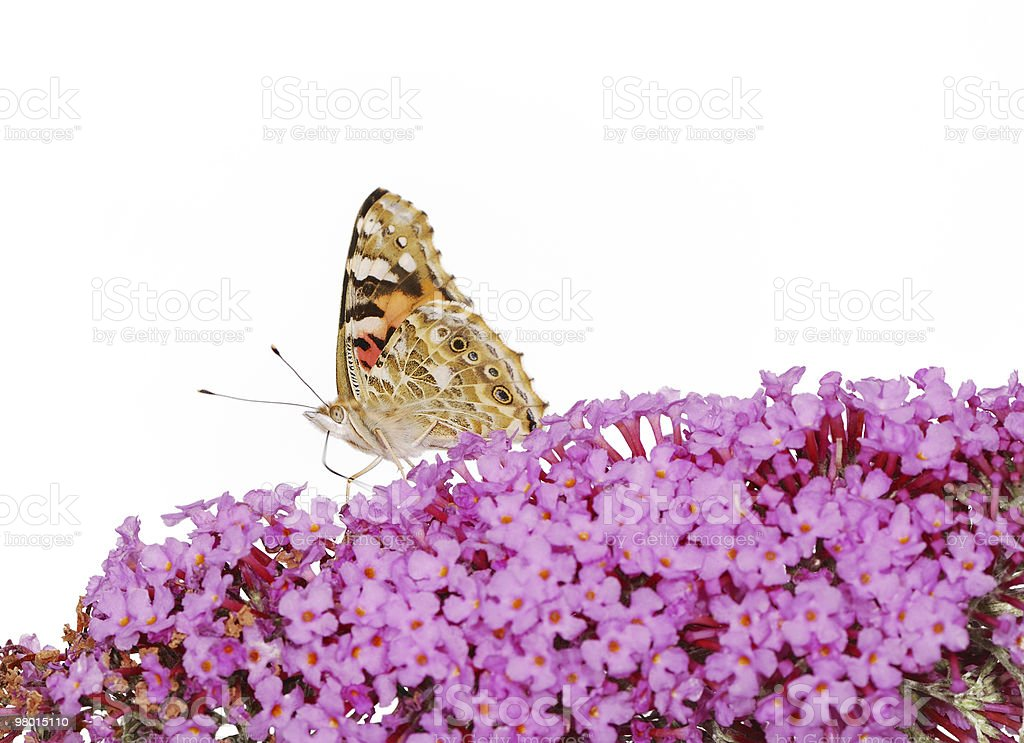 Painted Lady Butterfly royalty-free stock photo