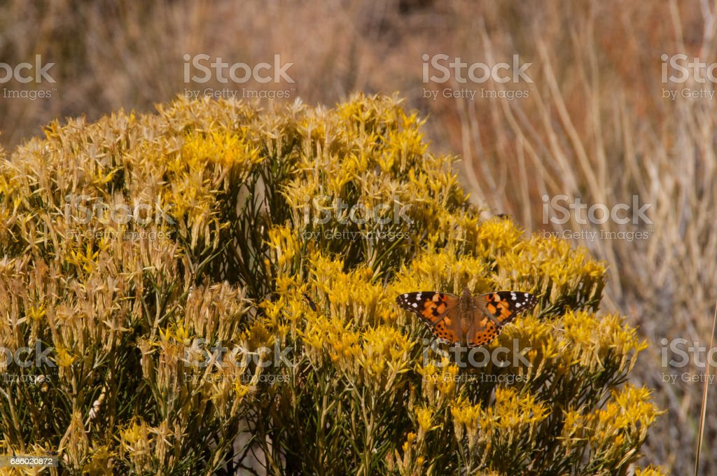 Painted Lady Butterfly & Rabbit Brush Close-up stock photo
