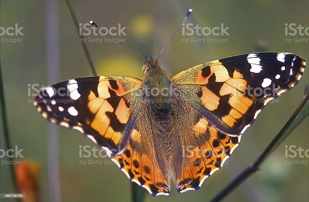 Painted Lady Butterfly, Selective focus stock photo