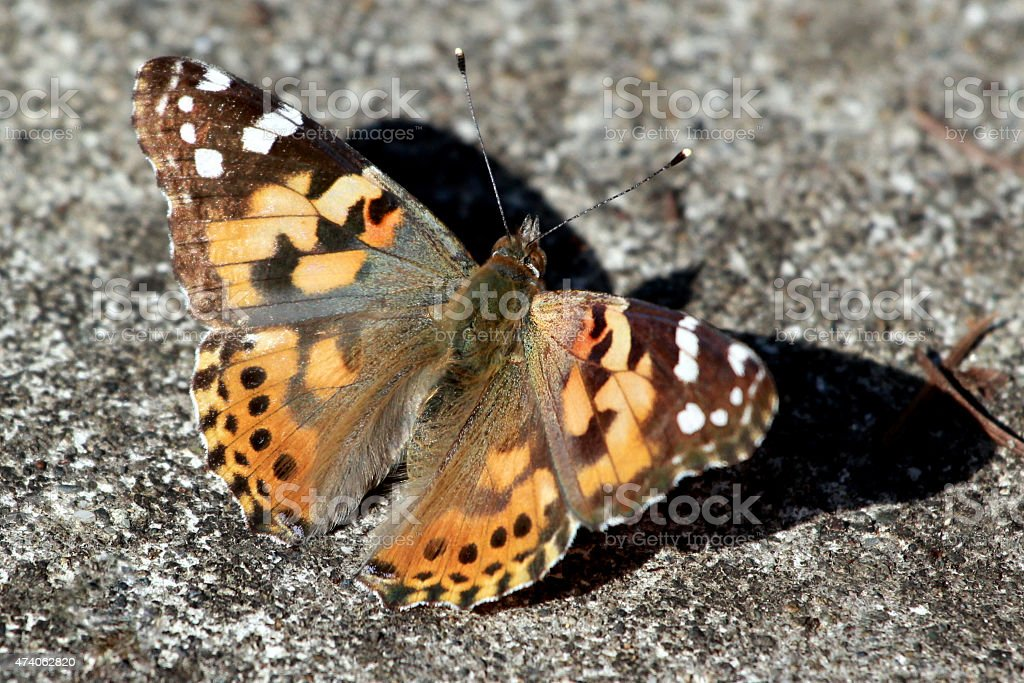 Painted Lady Butterfly - Vanessa cardui stock photo