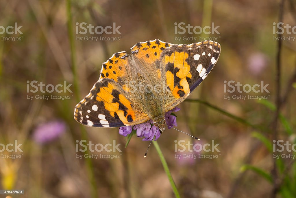 Painted Lady butterfly with wings open on Scabious royalty-free stock photo