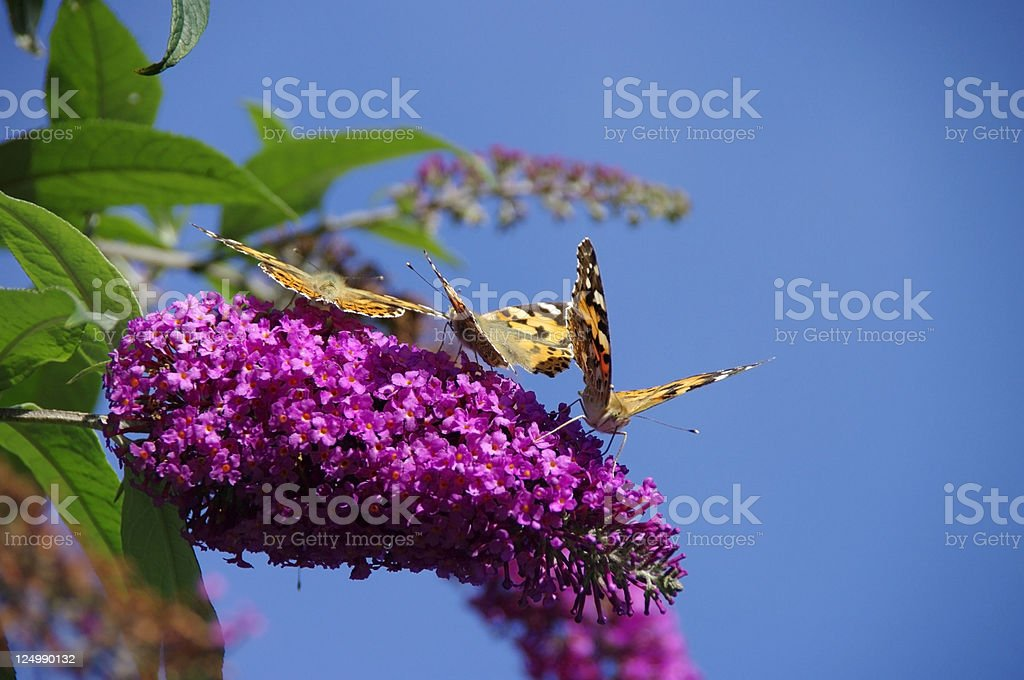 Painted lady butterfly's royalty-free stock photo