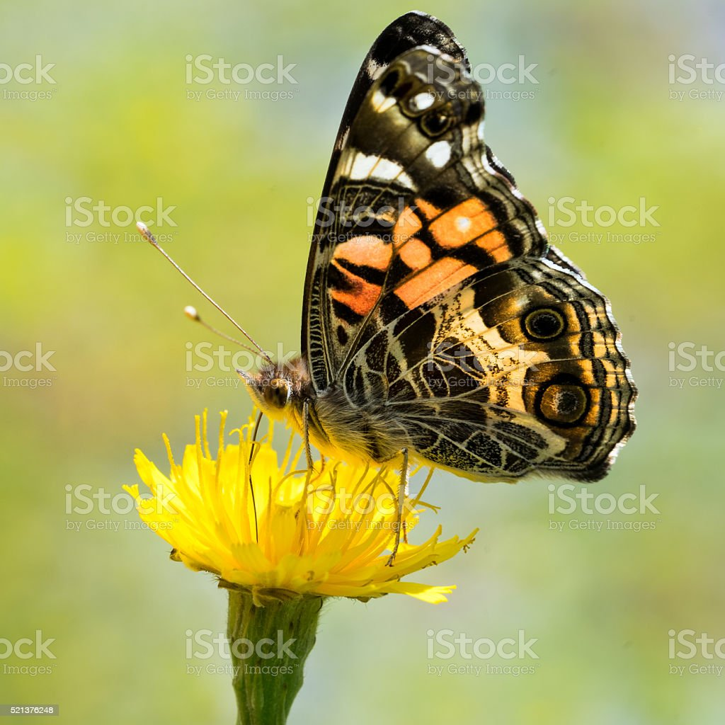 Painted Lady II stock photo