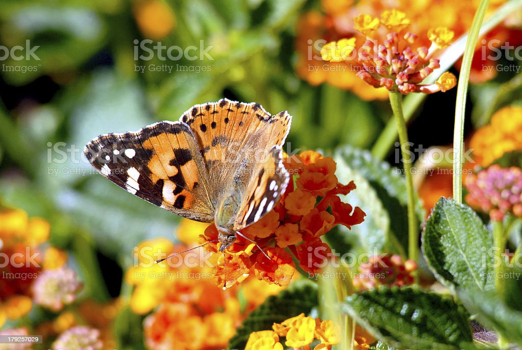 Painted lady on flower royalty-free stock photo