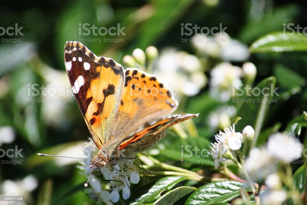 Painted Lady on white flowers in spring stock photo