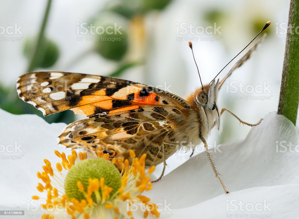 painted lady or Vanessa cardui butterfly stock photo