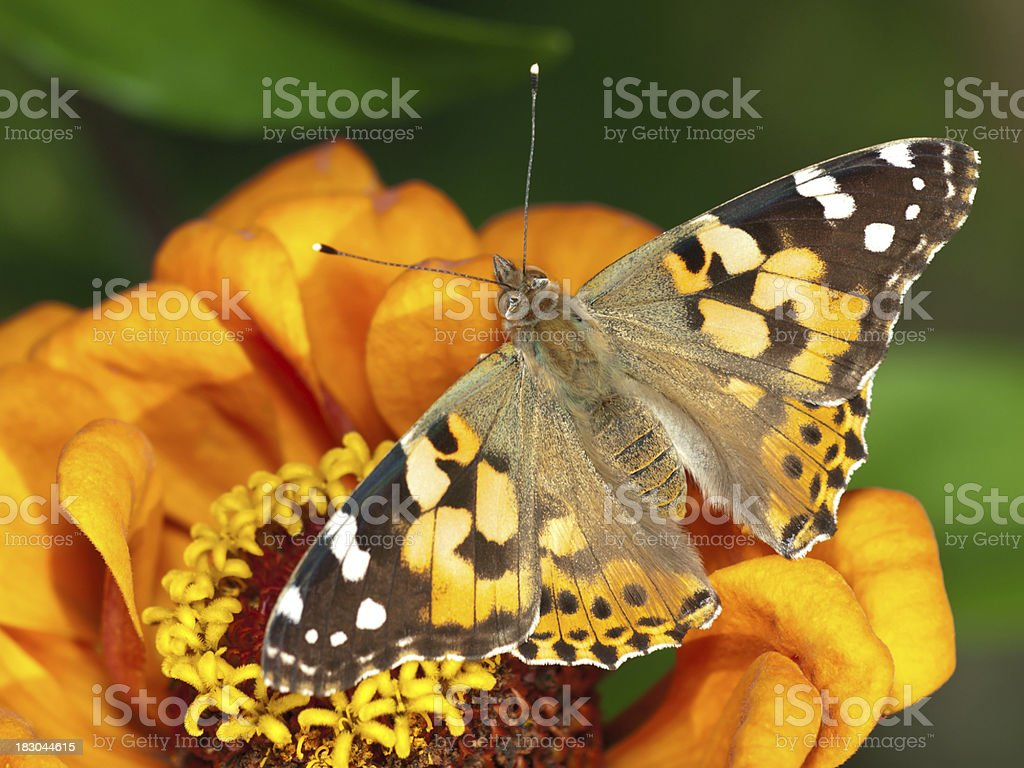 Painted Lady (Vanessa cardui) stock photo