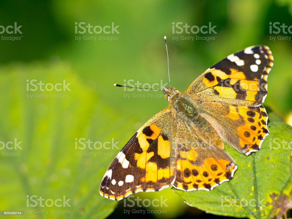 Painted lady (Vanessa cardui) sitting on leaf in the sun stock photo