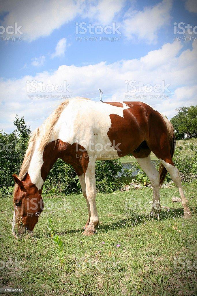 Painted Pony stock photo