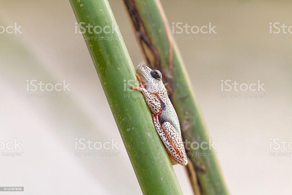 Painted reed frog, Okavango Delta, Botswana stock photo