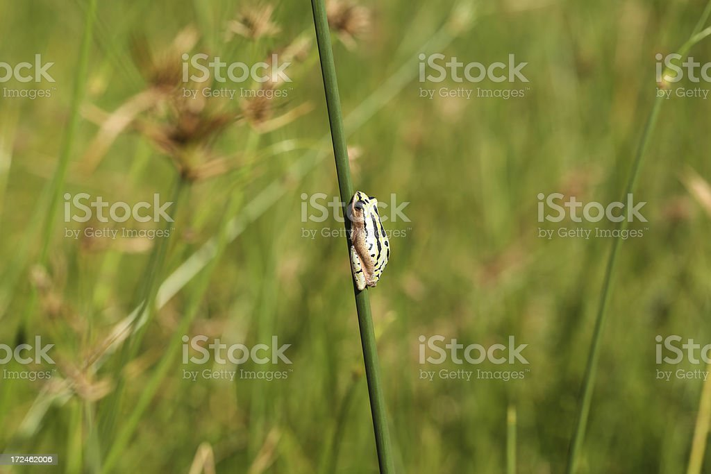 Painted Reed frog royalty-free stock photo