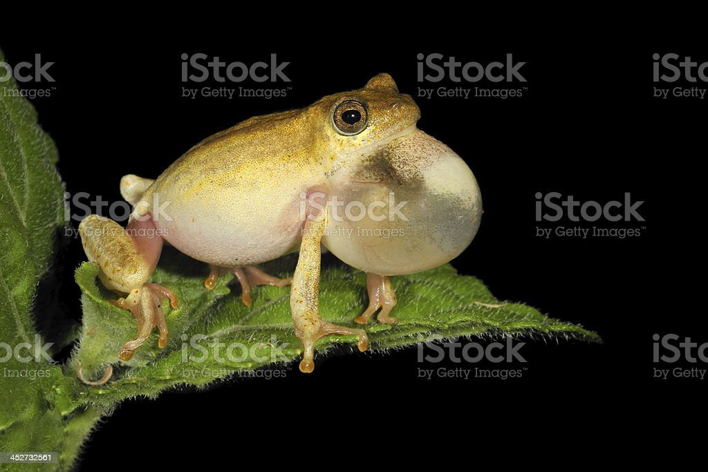 Painted reed frog stock photo