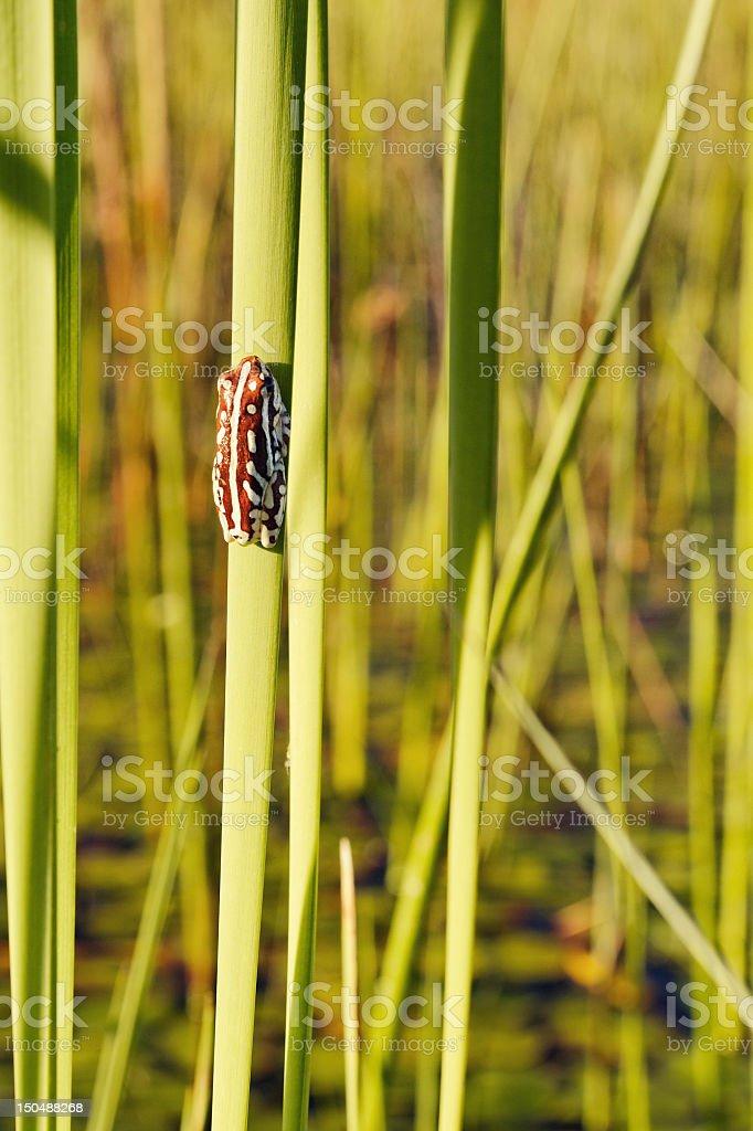Painted reed frog sitting on reed, Okavango Delta,Botswana stock photo