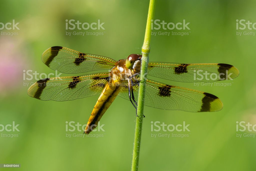 Painted Skimmer Dragonfly stock photo