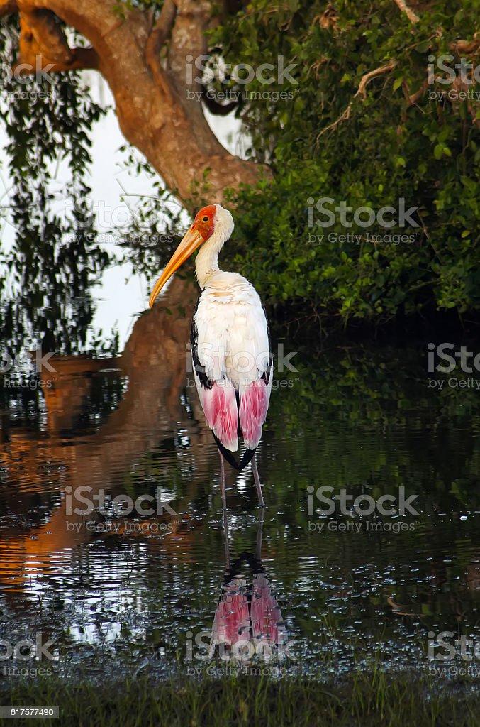 Painted Stork (Mycteria leucocephala) stock photo