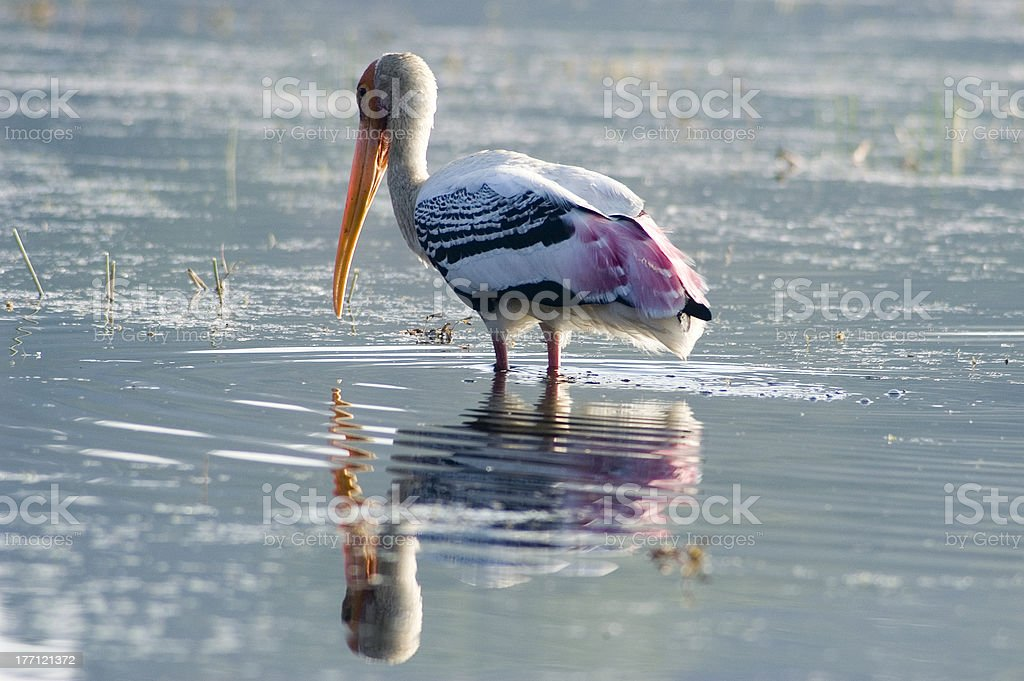 Painted Stork Reflection stock photo