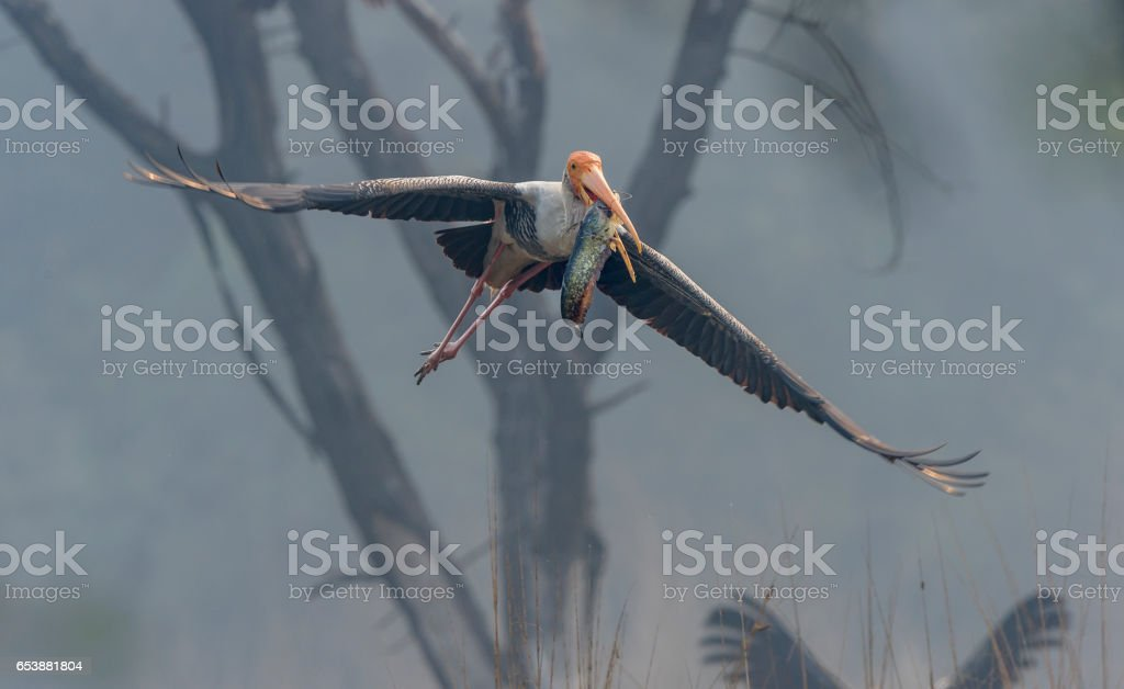 Painted Stork with Fish Kill stock photo