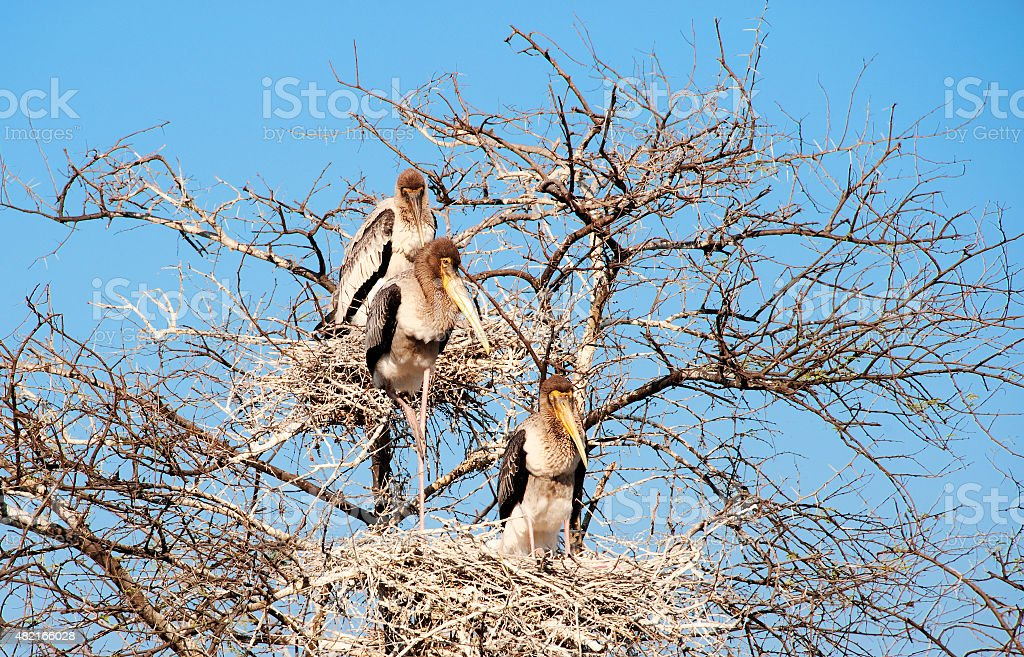 Painted Storks in Keoladeo National Park stock photo