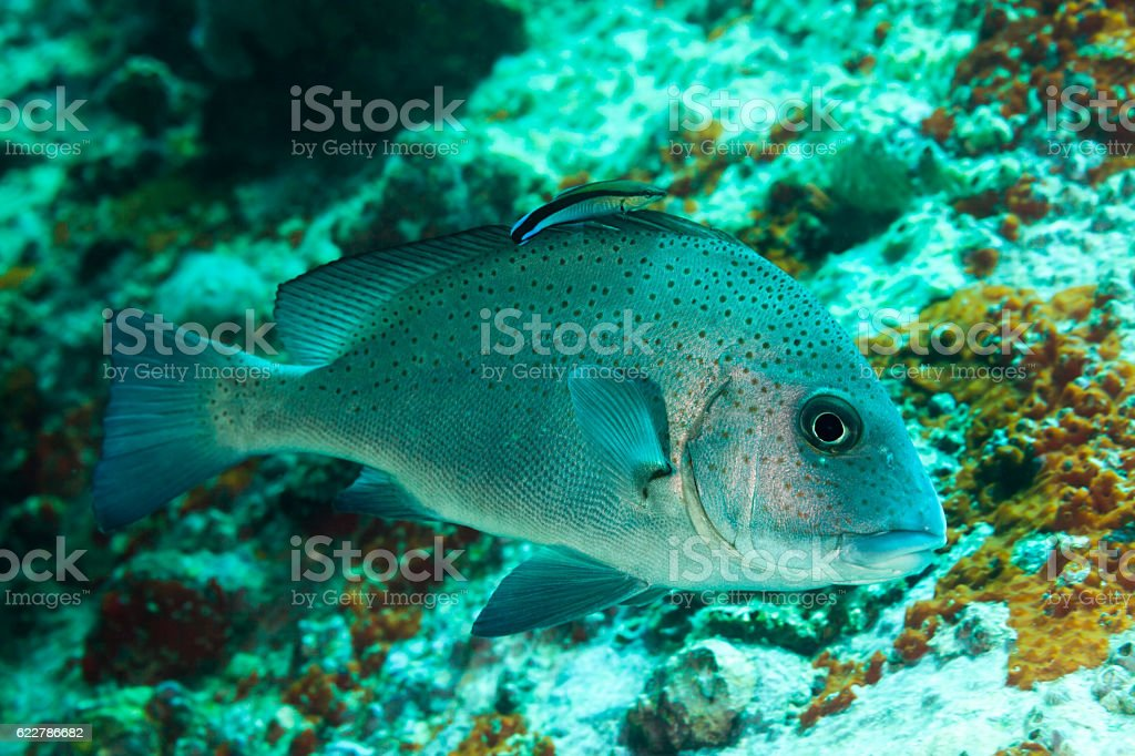 Painted Sweetlips Diagramma pictum, Cleaner Wrasse Labroides dimidiatus, Praslin, Seychelles stock photo