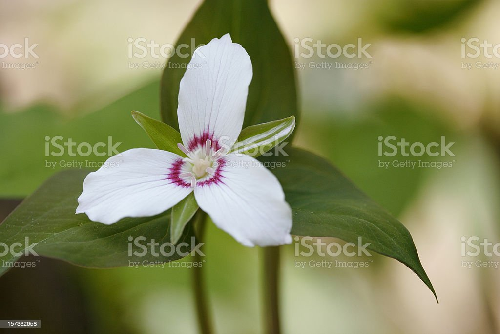 Painted Trillium royalty-free stock photo