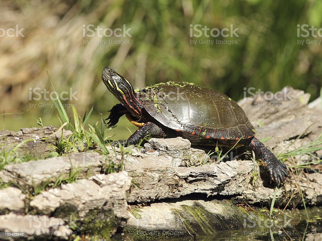 Painted Turtle  Basking on a Log stock photo