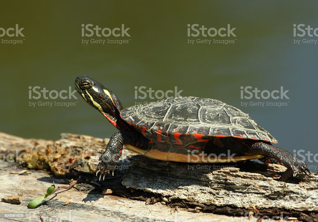 Painted turtle in spring stock photo