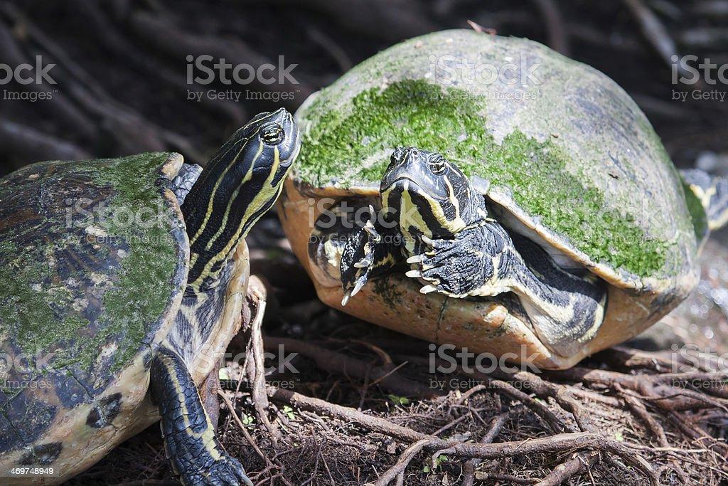 Painted turtle in wildlife stock photo