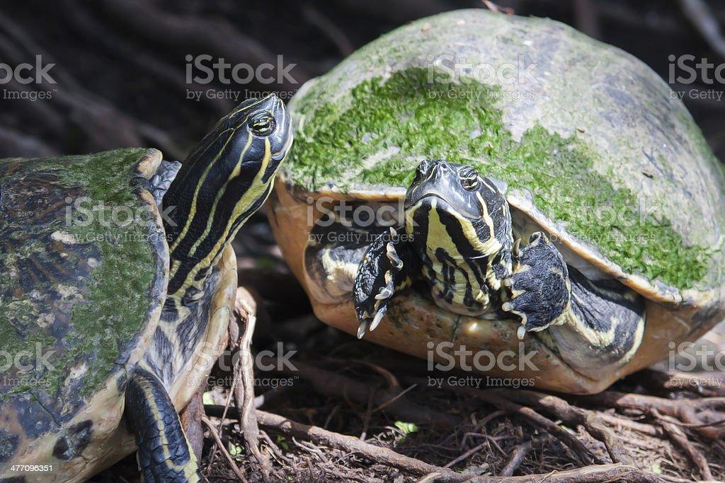 Painted turtle in wildlife soft focus stock photo