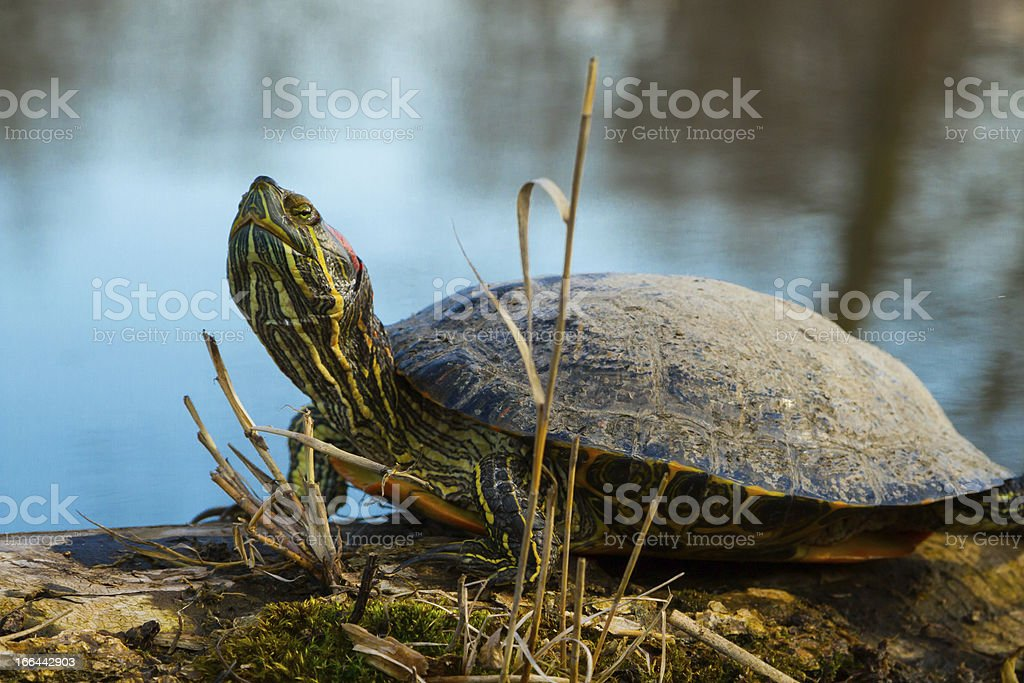 Painted Turtle royalty-free stock photo