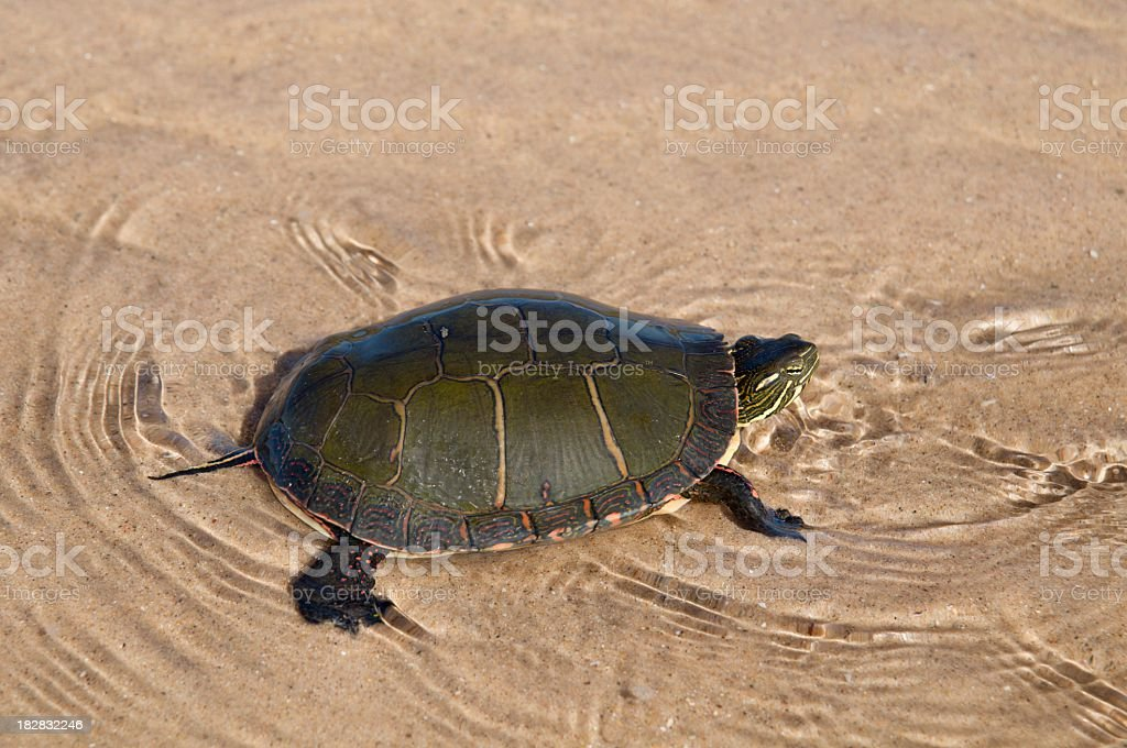 Painted Turtle Swimming in Lake Michigan royalty-free stock photo