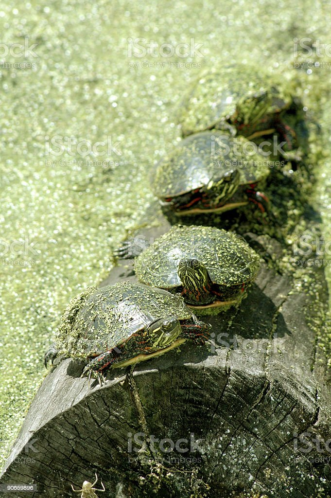 painted turtles, Chrysemys picta, on log stock photo