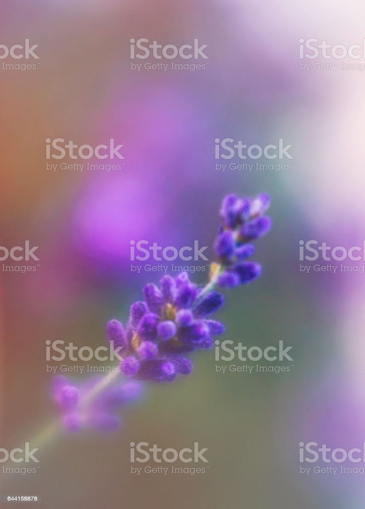 Painterly image of delicate lavender blooms stock photo